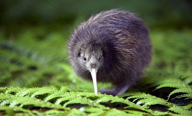 kiwi nuova zelanda
