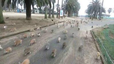 Una carica di conigli giapponesi.
