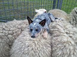 sulle pecore