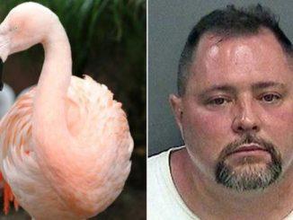 Turista picchia fenicottero rosa Pinky in Florida