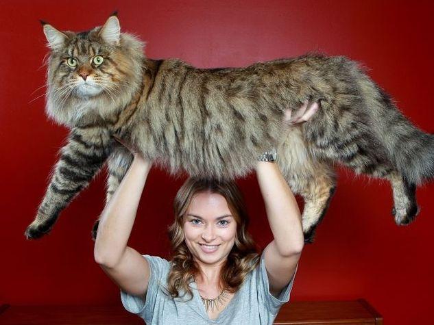 Conosciamo Samon, il gatto più grande che esista sul pianeta