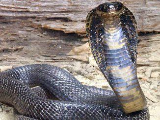 morsa da un cobra