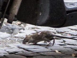 morsa da un ratto