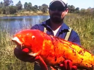 pesci rossi giganti