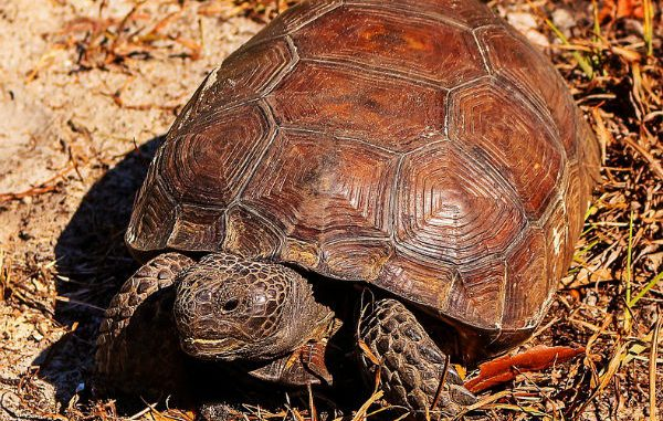 Brasile, tartaruga persa nel 1982 ritrovata viva dopo 34 anni