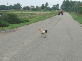 animali selvatici per strada