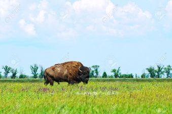 Bisonte della steppa