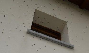 Uno sciame di cimici all'esterno di un'abitazione di Sedegliano, Udine