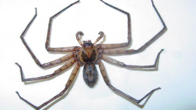 Charlotte: il ragno gigante che terrorizza il web