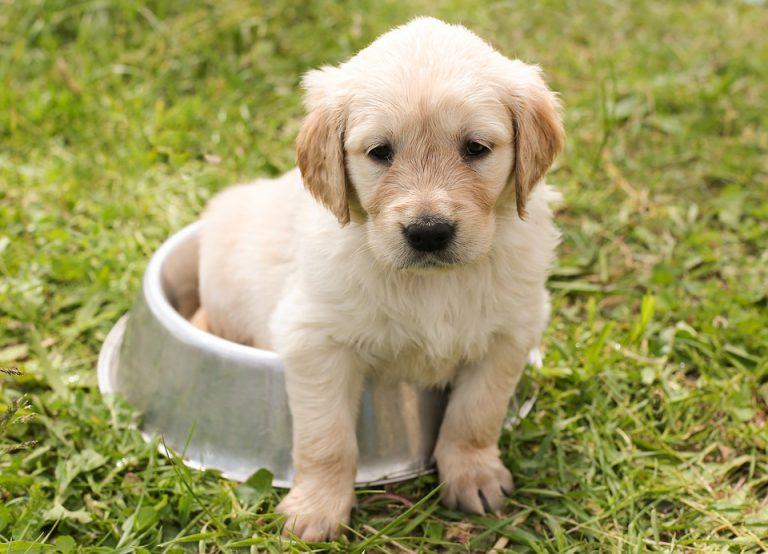 Come portare a casa un nuovo cucciolo di cane