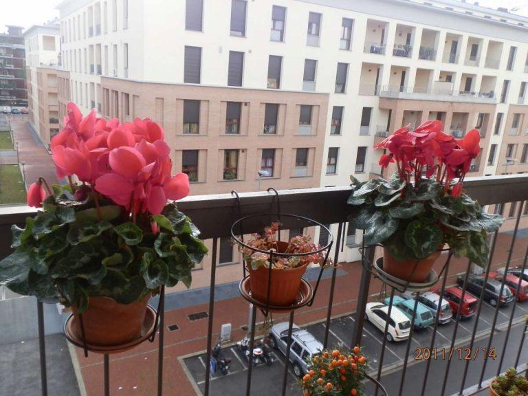 Ciclamino in vaso: inverno ed estate