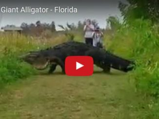 alligatore gigante in florida