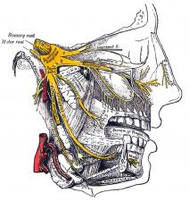 nervo trigemino anatomia di gray