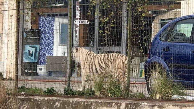 Paura a Palermo, una tigre bianca scappa dal circo