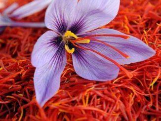 Giardino: come coltivare lo zafferano