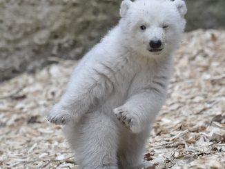E' il nuovo re del web l'orsetto polare appena nato: fa l'occhiolino e tante coccole