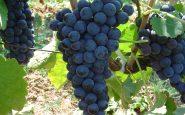Uva e Alzheimer: ottimo alimento per combattere la malattia