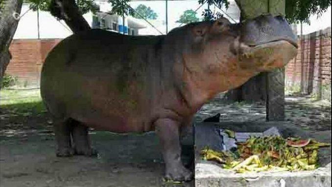 San Salvador: l'ippopotamo Gustavito picchiato a morte nello zoo. Il web commosso e indignato