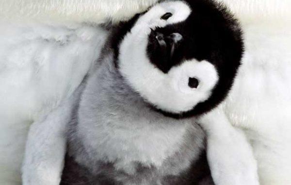 La marcia dei pinguini-il richiamo: data uscita