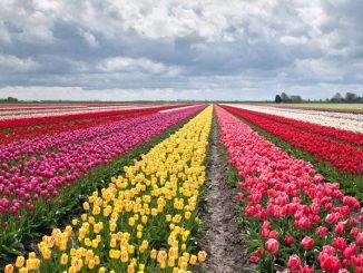 Tulipani a Milano: 250.000 fiori saranno piantati in primavera. Ecco in che zona