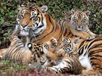 India: una tigre di peluche per i cuccioli rimasti orfani