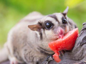 Petauro dello zucchero: un animale domestico poco conosciuto