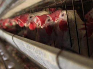 L'ONG Animal Equality ha appena pubblicato un video di denuncia volto a spiegare quale sia il vero prezzo delle uova. Cosa c'è dietro quanto compriamo?