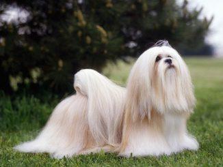 Cani a pelo lungo: guida a come lavarli correttamente