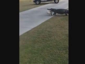 alligatore nel campo da golf
