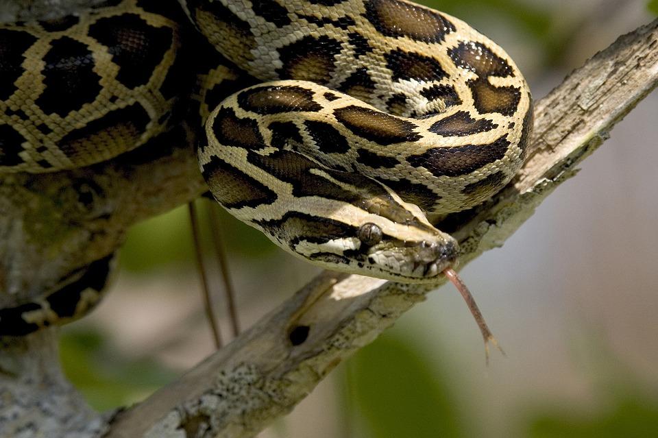 burmese python 1563666 960 720