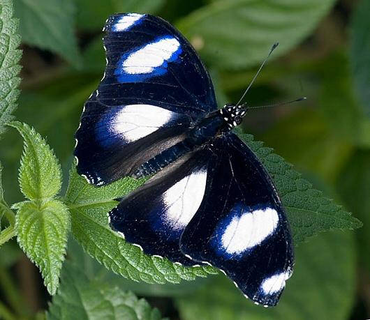 casa delle farfalle Hypolimnas misippus m phn1