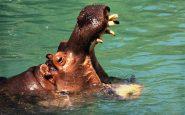 Dentista ippopotami cura animali infilandosi nella mandibole