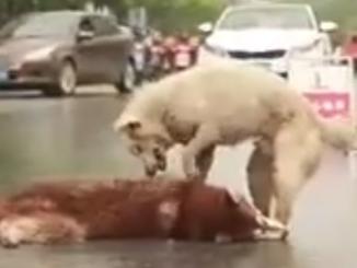 Un bellissimo cane cerca di salvare un altro cane in difficoltà per strada