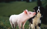 Babe, maialino coraggioso: una lezione di vita? Ecco perchè vinse l'Oscar