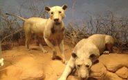 I leoni che mangiarono in guerra 135 soldati