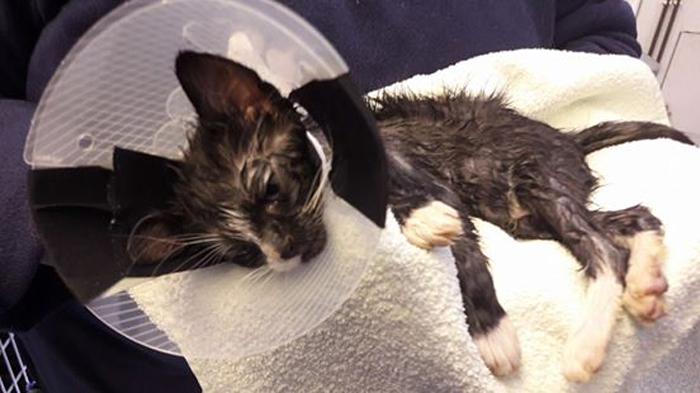 Micio torturato con la colla: la storia del gattino