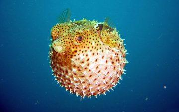 Amore sulla sabbia: i capolavori dei pesci palla per conquistare le femmine