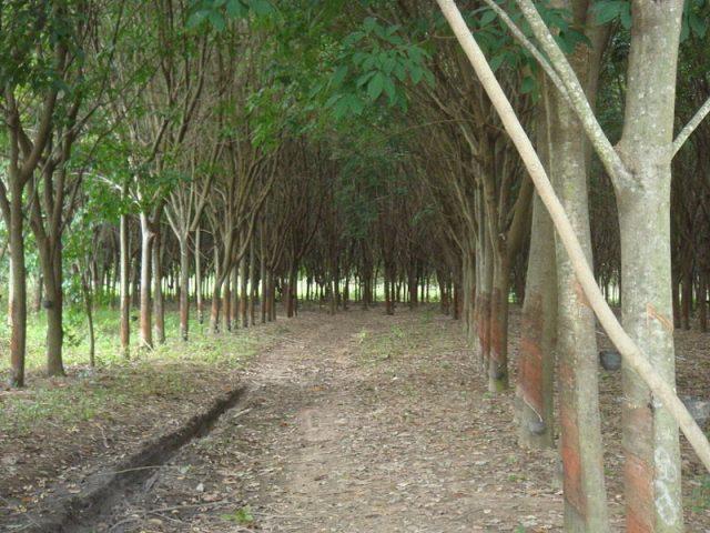 Rubber-tree-plantation.-Photo-Credit-640x480