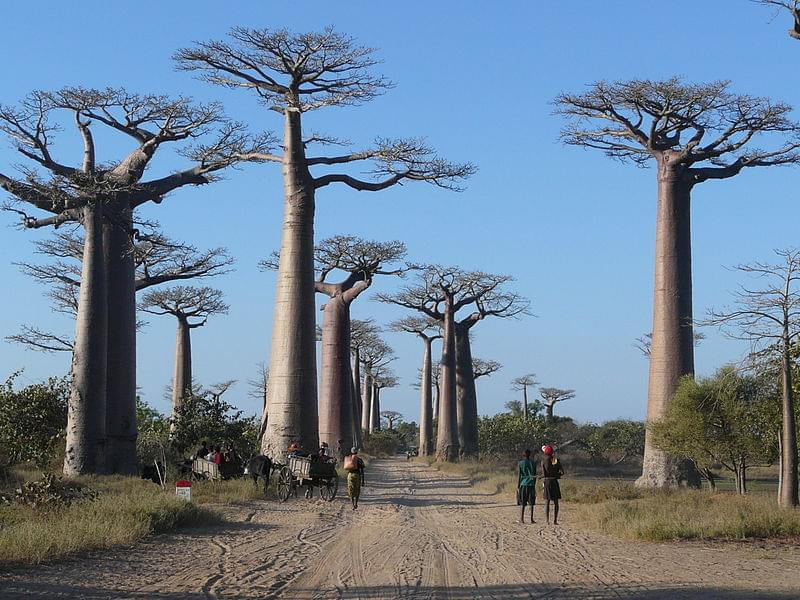 baobabs_avenue