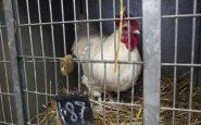 galline in gabbia