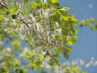 Allergia al pioppo