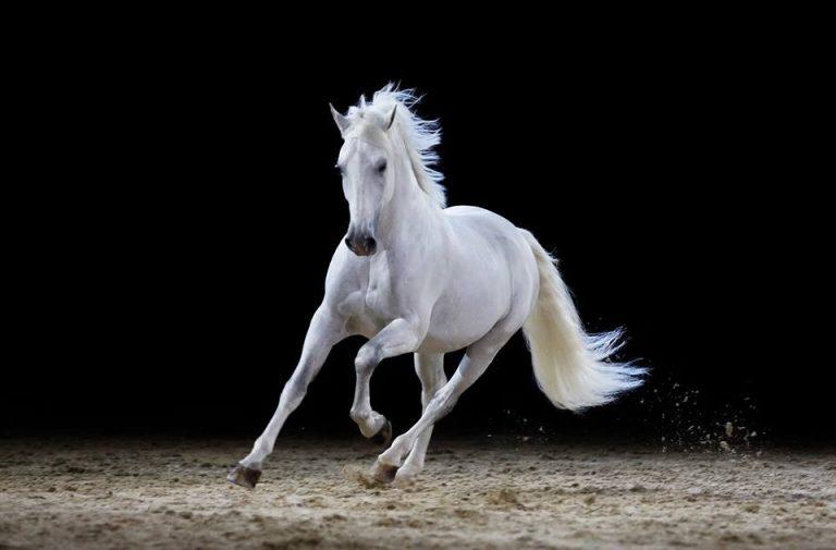 Cavallo traina calesse con gli sposi e poi crolla a terra sfinito