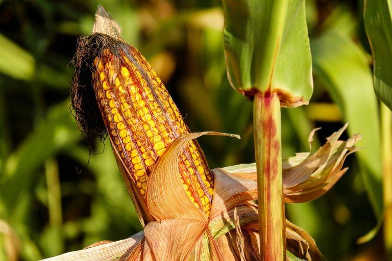 Ogm: Shaurli, sentenza Ue non modifica divieto semina in Fvg