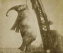 """Il triste caso di """"Big Mary"""": l'elefantessa impiccata per omicidio"""