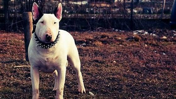 Torino, l'addestratore non fu sbranato dal bull terrier. Morì per un malore