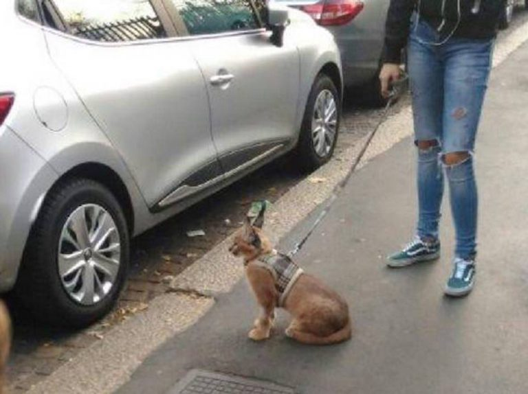 Milano: a passeggio con un Caracal. Comune: aiutateci a rintracciare proprietario