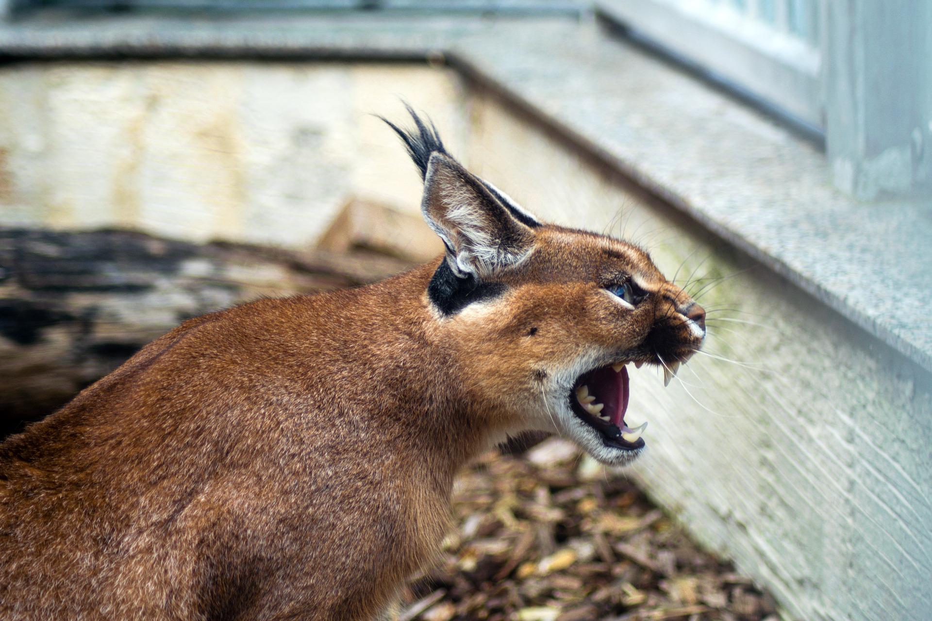 Un felino selvatico al guinzaglio a Milano, sos del Comune: