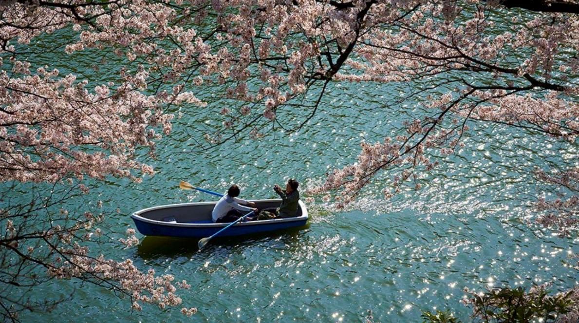 fioritura ciliegi