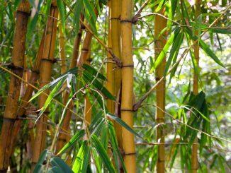 Come trapiantare le talee di bambù
