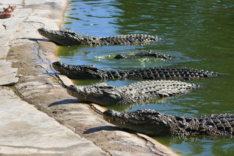 Massacrati 292 coccodrilli per l'uccisione di un uomo